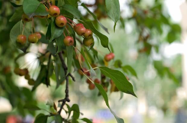 Яблоки Севера.